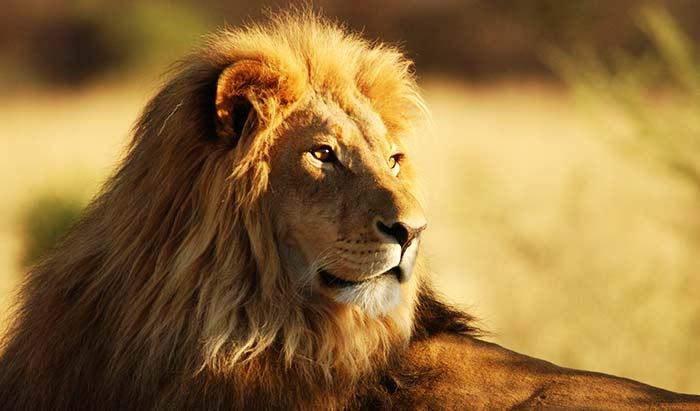 ライオンのスペイン語