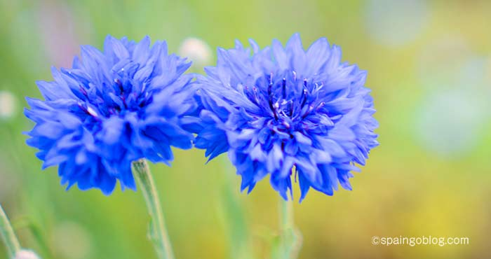 青い花の写真 azul
