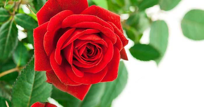 薔薇 rosa スペイン語